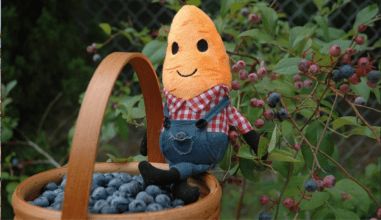 Carrot Bud hanging on bucket of blueberries