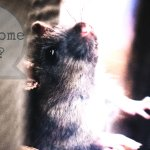 Remove Pests From Your Florida Home Especially Rats