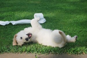 Puppy rolling around grass in Paramus, NJ with toilet paper.