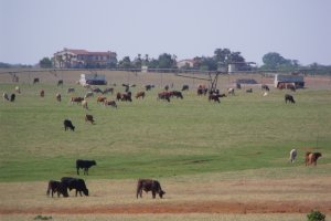 Cattle grazing in field - Everything you need to know before moving to Floresville TX
