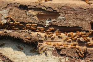 how to sell a house with termite damage
