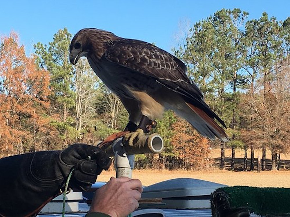 10 things to do in Lillington, hawk manor falconry