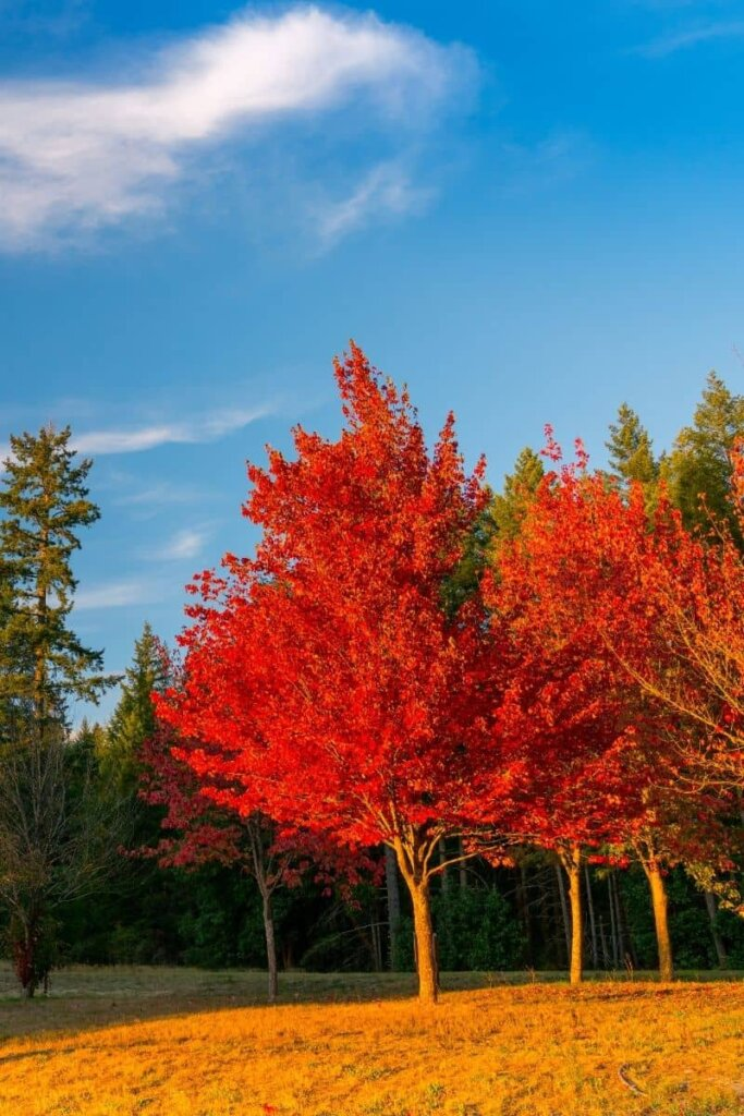 Washington Trees changing colors in the fall.  We see Evergreen trees next to maple leaf like trees that are bright red and and orange.