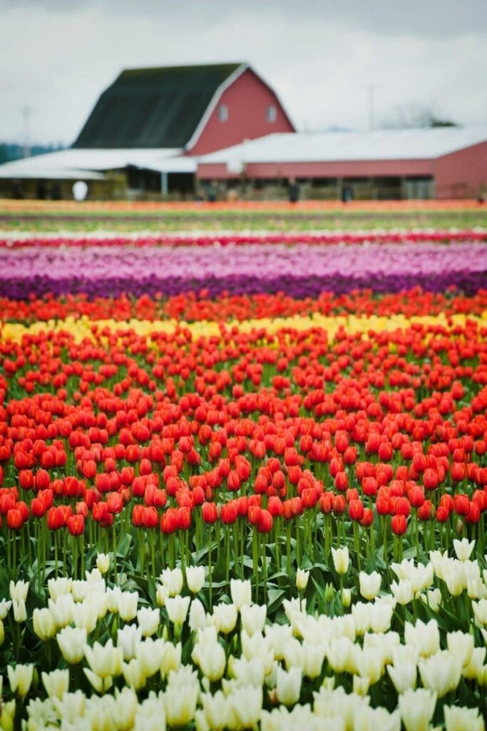 A filed full of beautiful tulips white, red, yellow, and purples.  There is a red barn in the background