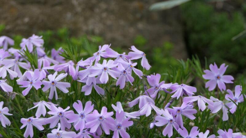 PurpleFlowers8_Beautiful CLOSEUP of lilac flowers
