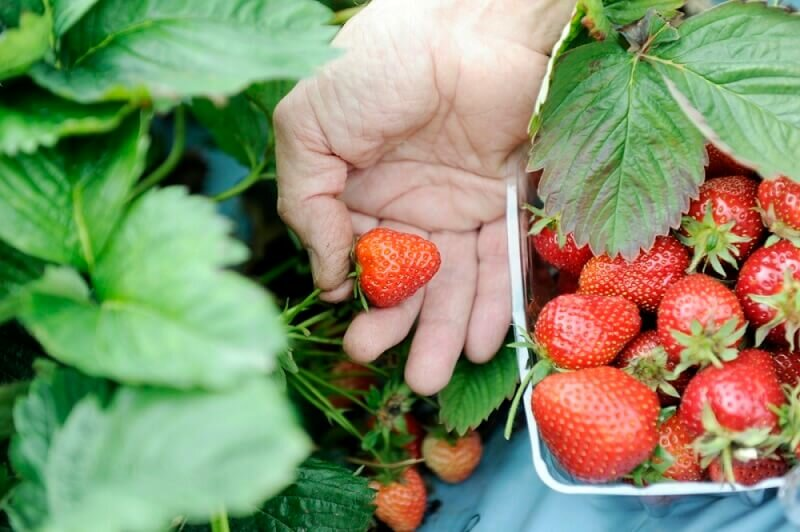 Strawberry Picking at Henley Farm