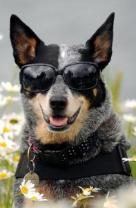 cool_dog