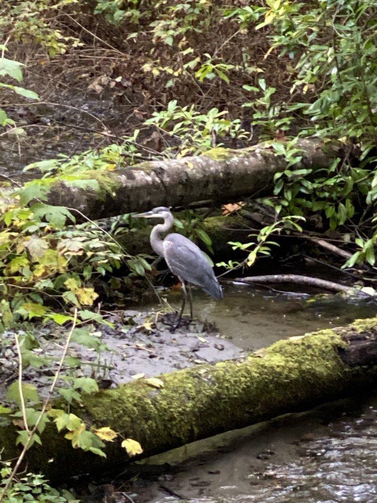 Blue Herons are large birds that enjoy fishing in Lake Washington and Seattle backyards!