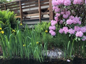 A pond in the landscape is a beautiful and highly desired item for your Seattle backyard landscape.